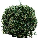 Cut out Bush Buxus Sempervirens 0001 | MrCutout.com