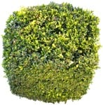 Cut out Bush Buxus Sempervirens 0003 | MrCutout.com