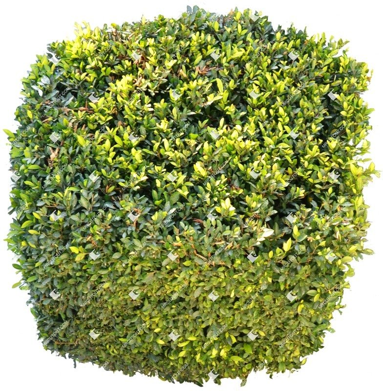 Cut out Bush Buxus Sempervirens 0003 preview