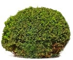 Cut out Bush Buxus Sempervirens 0006 | MrCutout.com
