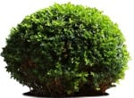 Cut out Bush Buxus Sempervirens 0007 | MrCutout.com