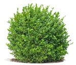 Cut out Bush Buxus Sempervirens 0008 | MrCutout.com