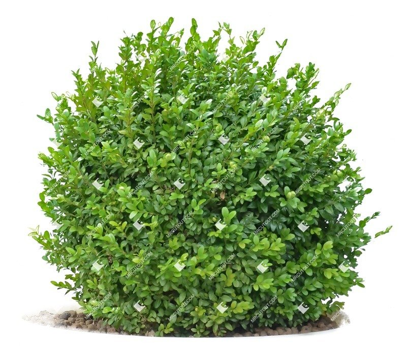 Cut out Bush Buxus Sempervirens 0008 preview