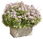 Cut out Bush Potted Flower Syringa Meyeri Palibin 0001 | MrCutout.com