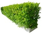 Cut out Bush Prunus Laurocerasus 0001 | MrCutout.com