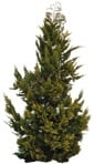 Cut out Bush Thuja Occidentalis 0001 | MrCutout.com