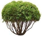 Cut out Bush Tree Thuja Occidentalis 0001 | MrCutout.com