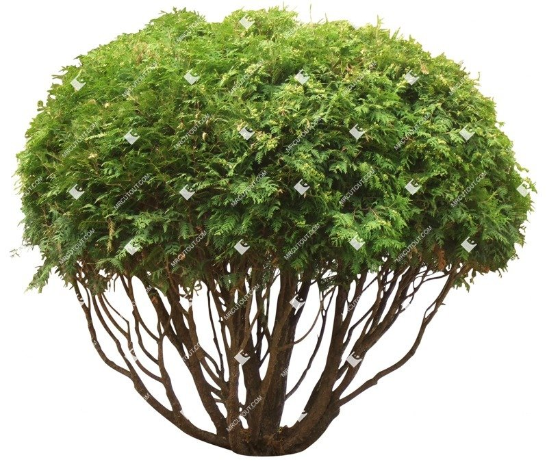 Cut out Bush Tree Thuja Occidentalis 0001 preview