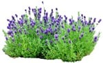 Cut out Flower Lavandula Angustifolia 0001 | MrCutout.com