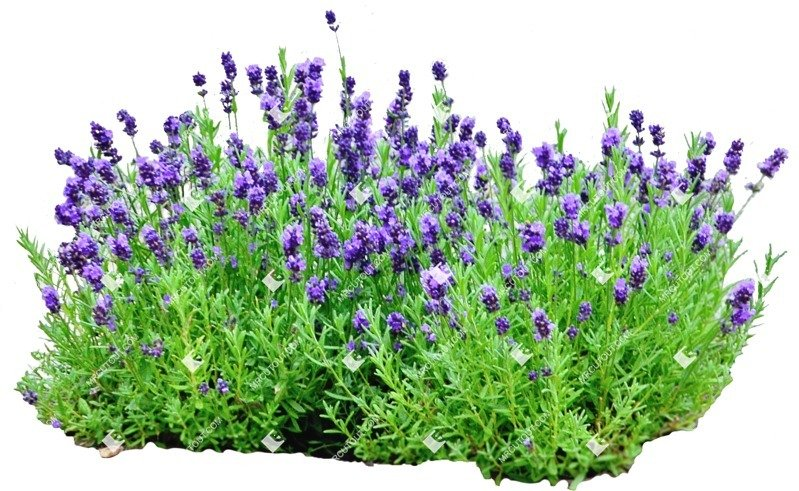 Cut out Flower Lavandula Angustifolia 0001 preview