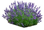 Cut out Flower Lavandula Angustifolia 0002 | MrCutout.com