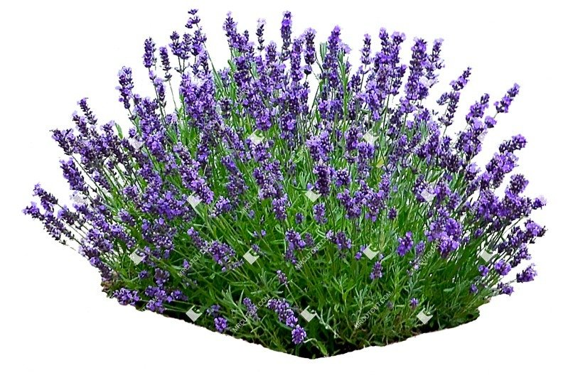 Cut out Flower Lavandula Angustifolia 0002 preview