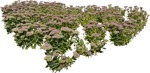 Cut out Flower Other Vegetation Sedum Spectabile 0001 | MrCutout.com