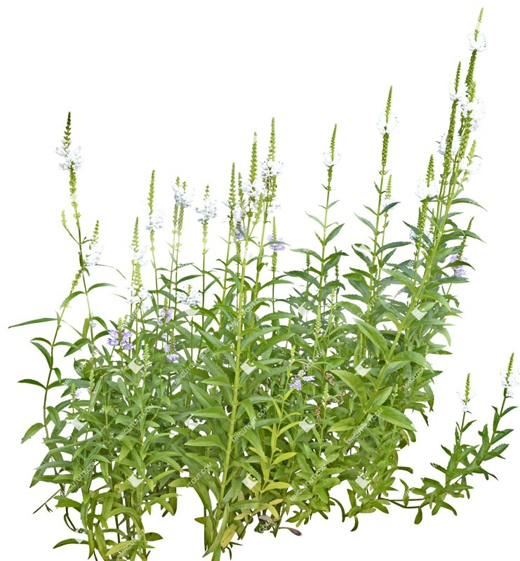 Cut out Flower Physostegia Virginiana Alba 0001 preview