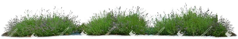 Cut out Flower Potted Flower Lavandula Angustifolia 0001