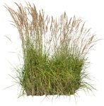 Cut out Other Vegetation Calamagrostis Acutiflora 0002 | MrCutout.com