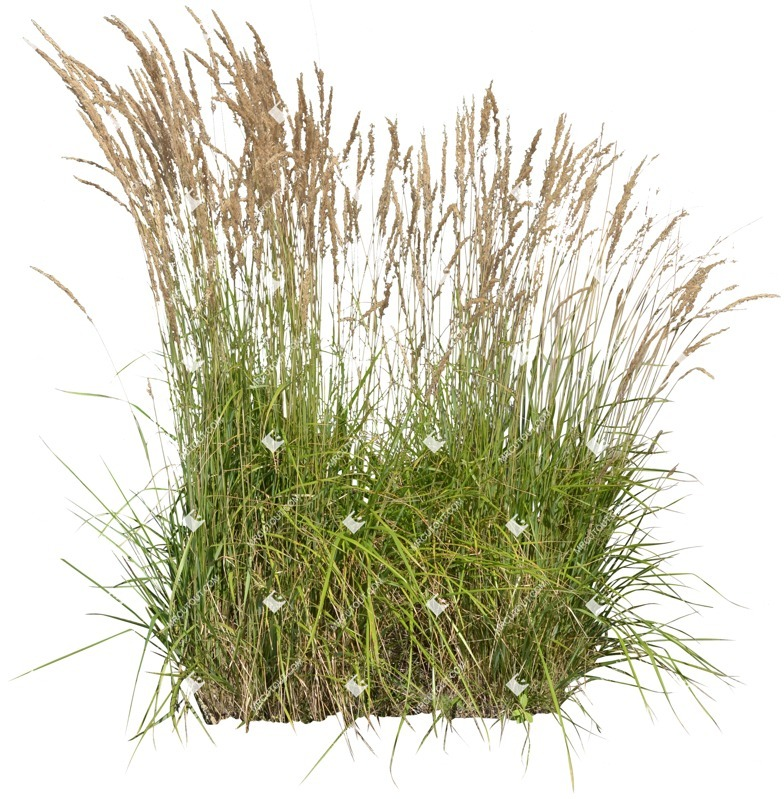 Cut out Other Vegetation Calamagrostis Acutiflora 0002 preview