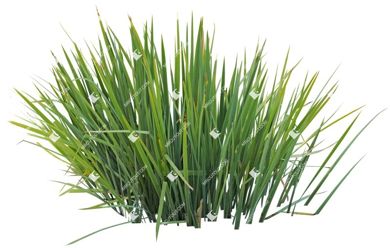 Cut out Other Vegetation Typha Angustifolia 0001 preview