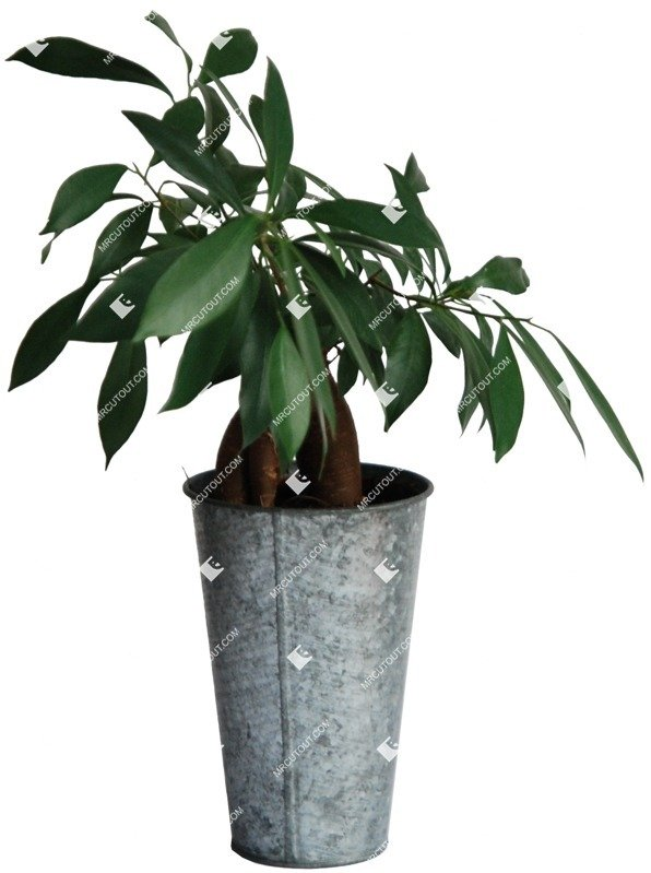 Cut out Potted Flower Ficus Microcarpa 0001 preview