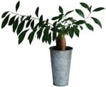 Cut out Potted Flower Ficus Microcarpa 0002 | MrCutout.com