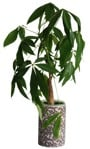 Cut out Potted Flower Ficus Microcarpa 0003 | MrCutout.com