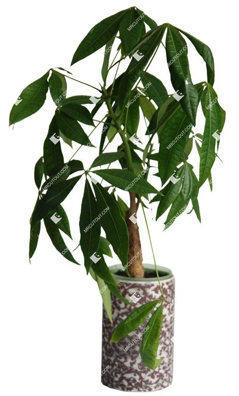 Cut out Potted Flower Ficus Microcarpa 0003 preview