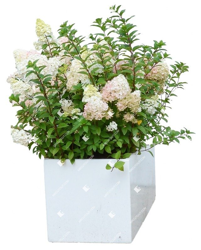 Cut out Potted Flower Hydrangea Arborescens 0001 preview