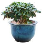 Cut out Potted Flower Rhododendron 0001 | MrCutout.com