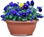 Cut out Potted Flower Viola Wittrockiana Gams 0001 | MrCutout.com