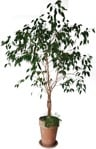 Cut out Potted Tree Ficus Benjamina 0001 | MrCutout.com