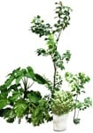 Cut out Potted Tree Other Vegetation Ficus Benjamina 0001 | MrCutout.com