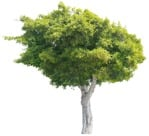 Cut out Tree 0207 | MrCutout.com