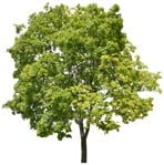 Cut out Tree Acer Platanoides 0001 | MrCutout.com