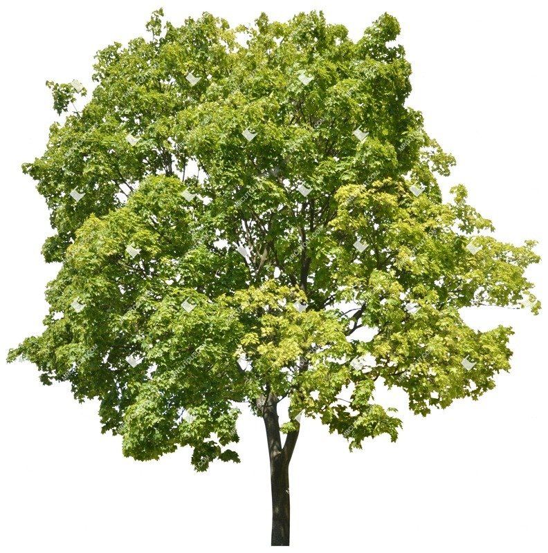 Cut out Tree Acer Platanoides 0001 preview