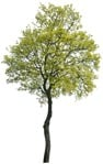 Cut out Tree Acer Platanoides 0002 | MrCutout.com
