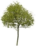 Cut out Tree Acer Platanoides 0003 | MrCutout.com