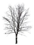 Cut out Tree Acer Platanoides 0004 | MrCutout.com