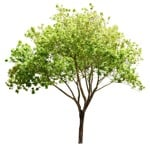 Cut out Tree Acer Platanoides 0005 | MrCutout.com