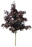 Cut out Tree Acer Platanoides Faassens Black 0002 | MrCutout.com