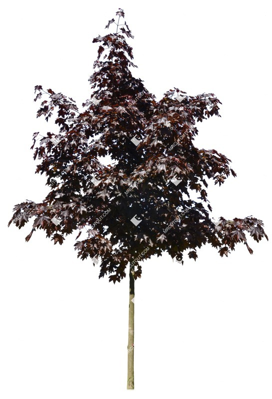 Cut out Tree Acer Platanoides Faassens Black 0002 preview