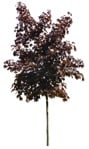 Cut out Tree Acer Platanoides Faassens Black 0003 | MrCutout.com