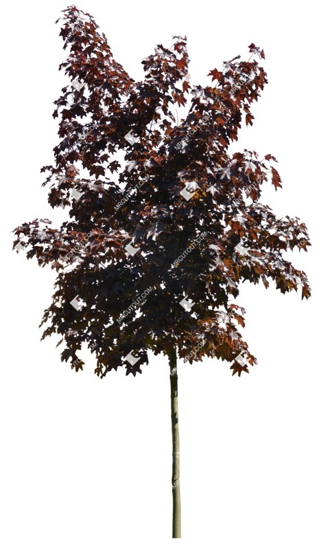 Cut out Tree Acer Platanoides Faassens Black 0003 preview
