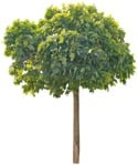 Cut out Tree Acer Platanoides Globosum 0001 | MrCutout.com