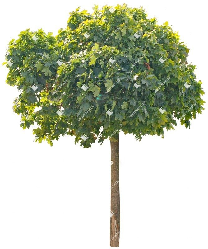 Cut out Tree Acer Platanoides Globosum 0001 preview