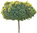 Cut out Tree Acer Platanoides Globosum 0002 | MrCutout.com