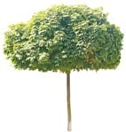 Cut out Tree Acer Platanoides Globosum 0003 | MrCutout.com