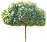 Cut out Tree Acer Platanoides Globosum 0004 | MrCutout.com