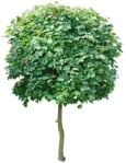 Cut out Tree Acer Platanoides Globosum 0005 | MrCutout.com