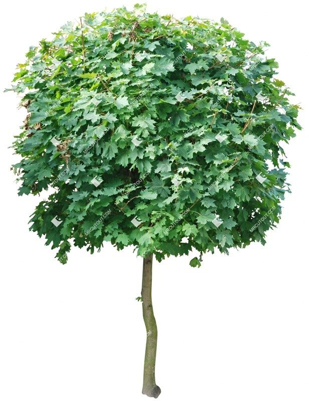 Cut out Tree Acer Platanoides Globosum 0005 preview
