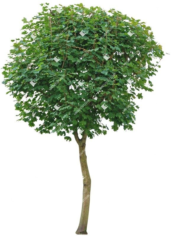 Cut out Tree Acer Platanoides Globosum 0010 preview